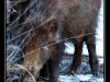 Sangliers de l'Ill Wald