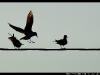 oiseaux-autour-colmar-DSC_9365m-border