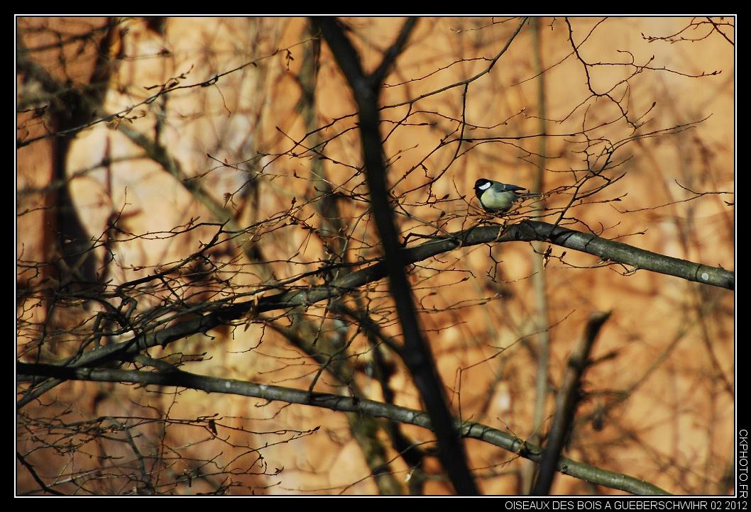 Oiseaux des Bois à Gueberschwihr 02 2012