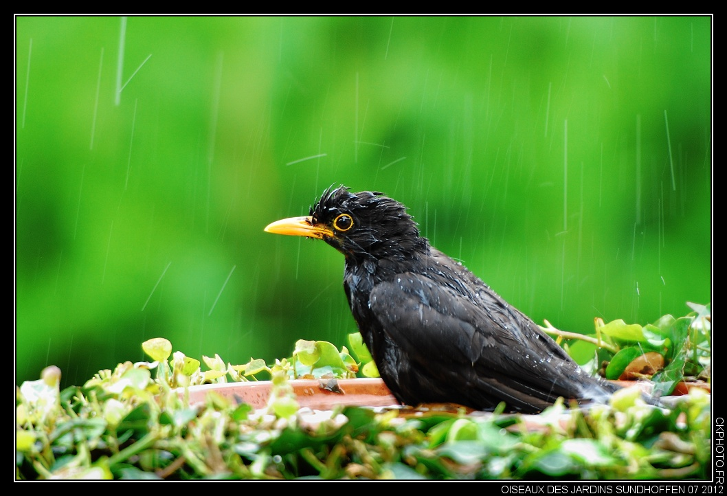 Oiseaux de mon jardin à Sundhoffen.