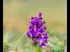 Orchidées sauvages en Alsace.