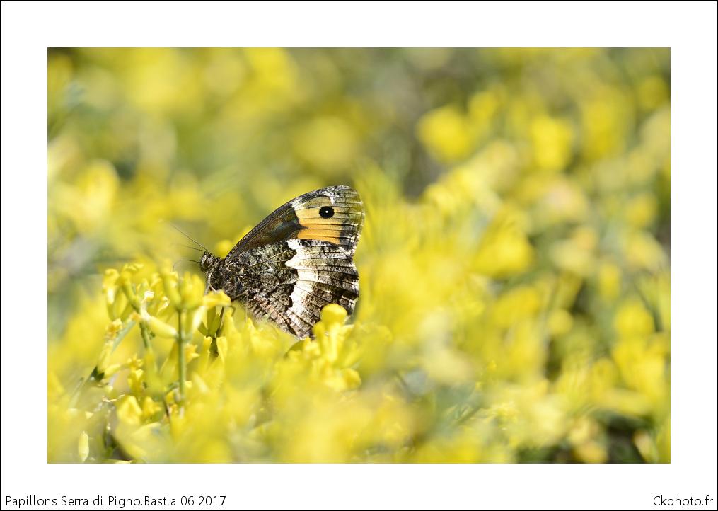 Papillons de Corse