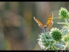 Rêve de papillon à Gueb.