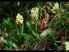 Orchidées du Stauffen.